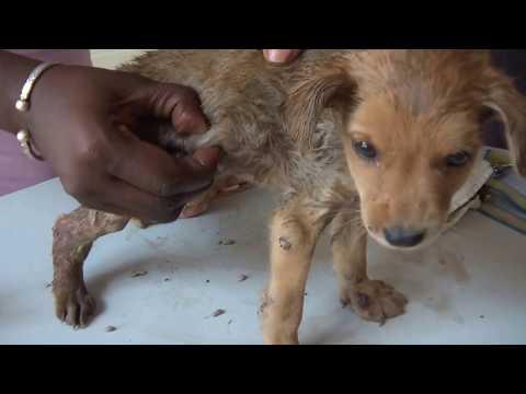 可憐的小狗狗身體擠出大量螺旋蠅!