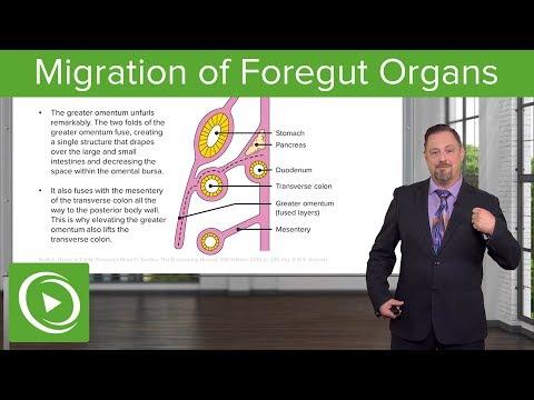 Foregut Organs: Omentum & Mesenteries – Embryology | Lecturio