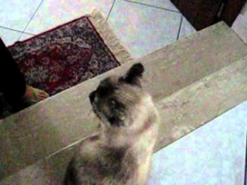dolcissimo gatto siamese chiama mamma la sua padroncina