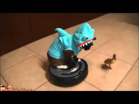 Chat déguisé en requin sur un aspirateur poursuit un caneton !