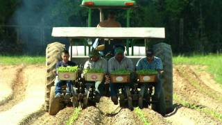 Clemmons (NC) United States  City new picture : Planting Tobacco in Clemmons, North Carolina