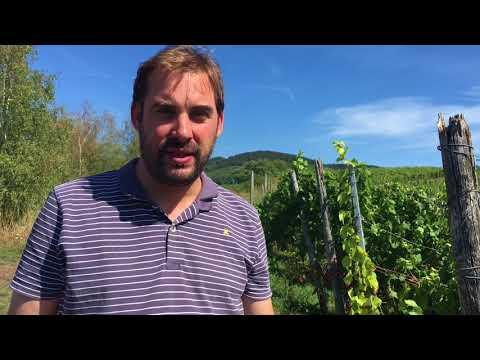 Prädikatswinzer zeigt, wie reif die Trauben an der Saar sind