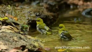 funny oriental whiteeye video