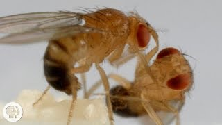 """Thanks to The Great Courses Plus for sponsoring this episode of Deep Look. Try a 30 day trial of The Great Course Plus at http://ow.ly/7QYH309wSOL. If you liked this episode, you might be interested in their course """"Major Transitions in Evolution"""". POW! BAM! Fruit flies battling like martial arts masters are helping scientists map brain circuits. This research could shed light on human aggression and depression.SUBSCRIBE to Deep Look! http://goo.gl/8NwXqtDEEP LOOK is a ultra-HD (4K) short video series created by KQED San Francisco and presented by PBS Digital Studios. Explore big scientific mysteries by going incredibly small.* NEW VIDEOS EVERY OTHER TUESDAY! *Neuroscientist Eric Hoopfer likes to watch animals fight. But these aren't the kind of fights that could get him arrested – no roosters or pit bulls are involved.Hoopfer watches fruit flies. The tiny insects are the size of a pinhead, with big red eyes and iridescent wings. You've probably only seen them flying around an overripe piece of fruit.At the California Institute of Technology, in Pasadena, Hoopfer places pairs of male fruit flies in tiny glass chambers. When they start fighting, they look like martial arts practitioners: They stand face to face and tip each other over; they lunge, roll around and even toss each other, sumo-wrestler style.But this isn't about entertainment. Hoopfer is trying to understand how the brain works. When the aggressive fruit flies at Caltech fight, Hoopfer and his colleagues monitor what parts of their brains the flies are using. The researchers can see clusters of neurons lighting up. In the future, they hope this can help our understanding of conditions that tap into human emotional states, like depression or addiction. """"Flies when they fight, they fight at different intensities. And once they start fighting they continue fighting for a while; this state persists. These are all things that are similar to (human) emotional states,"""" said Hoopfer. """"For example, there's this s"""