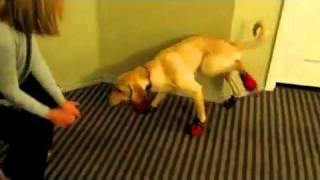 Dog Running With Shoes on funny!