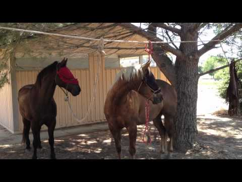 Tying A Horse To High Line - High Lining Horses Why ? -  Rick Gore Horsemanship