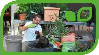 Karl Ploberger pflanzt einen Zwergapfel Guillivers® in einen Kübel