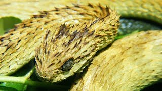 Striking Facts About Viper Snakes by Epic Wildlife