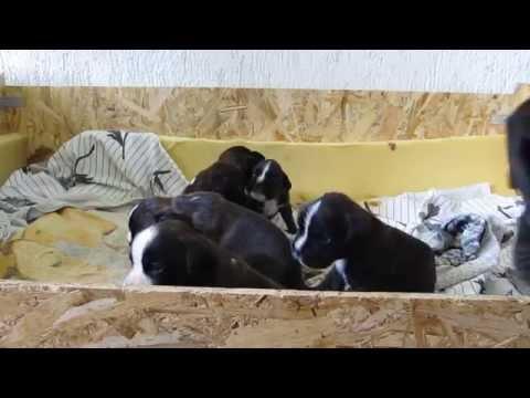 Vendita cuccioli di boxer con pedigree