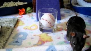 Pet Rat Problem Solving
