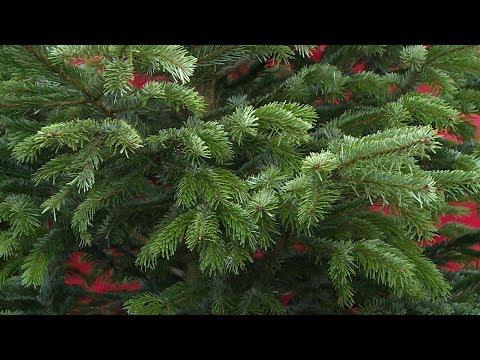 Как правильно выбрать новогоднюю елку. 15.12.18