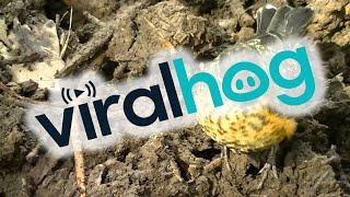 Man Helps Baby Robin Find Tasty Worms || ViralHog