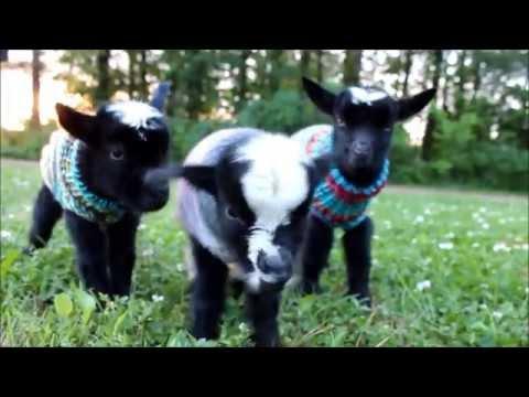 Triplet Newborn Goats in Sweaters