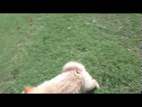 light red male chow puppy