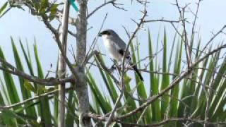 Video Loggerhead Shrike in 'song' MP3, 3GP, MP4, WEBM, AVI, FLV Agustus 2018