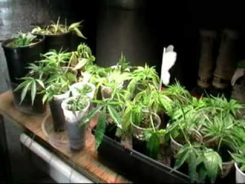 How This Grower Clones His Cannabis Plants