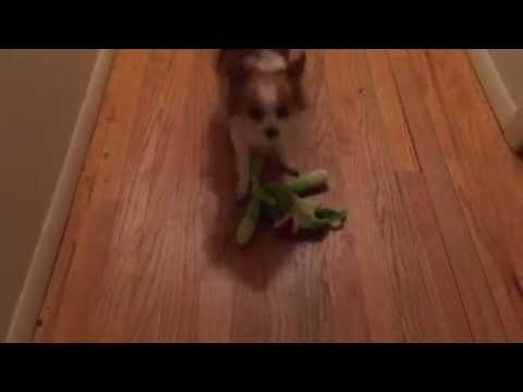 Henry The Long Hair Chihuahua Plays Fetch – Funny – Cute Dog
