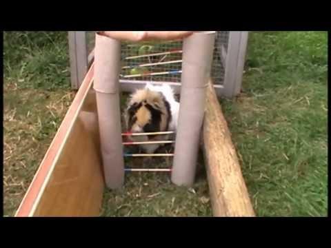 ♥ Une équipe de cochons d'inde qui fait du saut d'obstacles !!! ♥