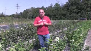 #753 Züchtung von neuen Hydrangeasy Sorten - Hydrangea paniculata