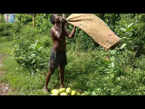 How Are Coconuts Plucked From Tree | Drinking Coconut Water | Coastal Area Coconut Crop | Health Tip