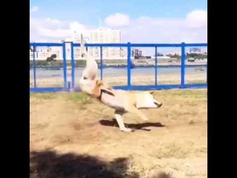 傻萌的柴犬玩到嗨過頭要跌倒時,牠帥慘的後空翻讓大家都重播看了不下十次!