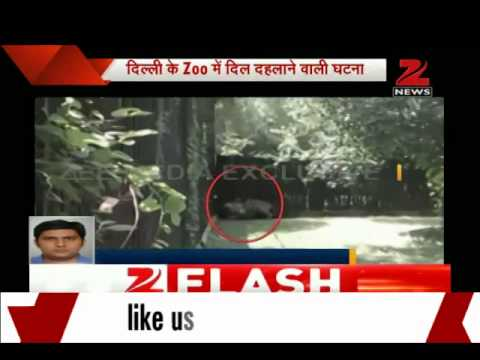 exclusive - An unidentified youth Tuesday was killed by a white tiger after he jumped into the animal's cage in Delhi Zoo, an official said.