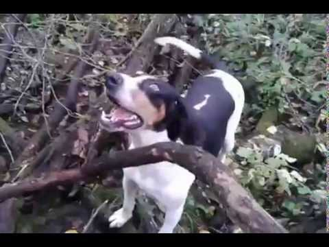The Sound Of A True Hound Dog - October 2014 Hunting