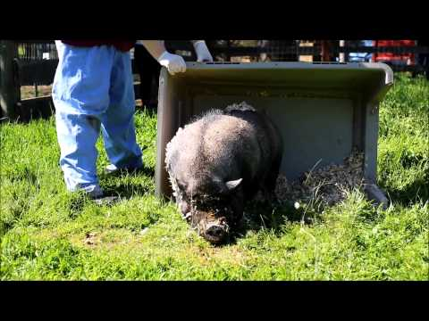 due maiali salvati dal macello fanno i loro primi passi in libertà!