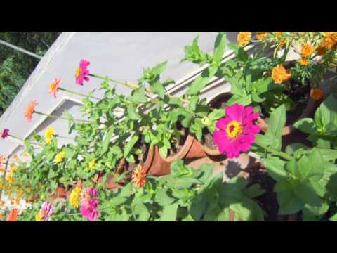 Video छत पर बागवानी (Roof Gardening) - जीनिया (Zinnia) download in MP3, 3GP, MP4, WEBM, AVI, FLV January 2017