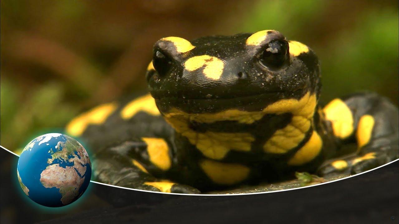 Nocturnal wanderer: The fire salamander