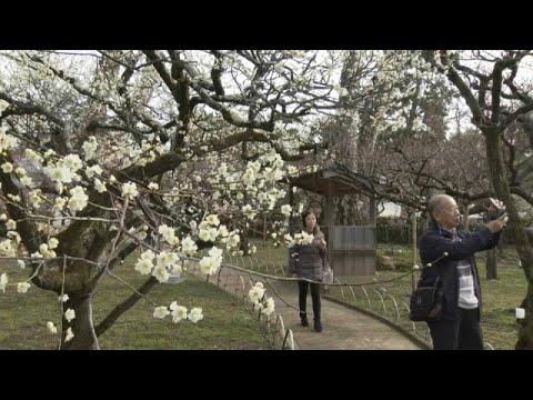 Kyoto (Japan): 1.500 Pflaumenbäume stehen in Blüte