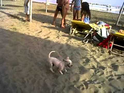 White Chihuahua called Carlo plays in the sand