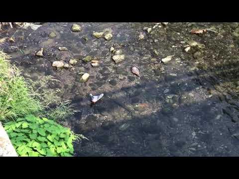 身近な鳥ですが見たことありますか?川で、2羽のハトが水浴びしています。
