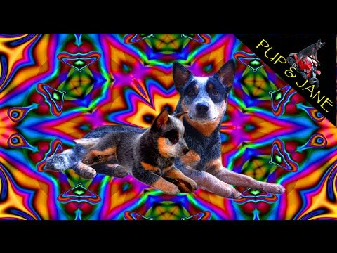 Australian Cattle Dog Tricks 6 wks-1 year  – Fun with Pup and Jane