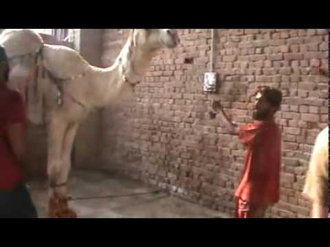 camel qurbani -