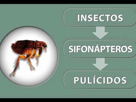 Como exterminar pulgas en perros consejero veterinario - Tengo pulgas en casa ...