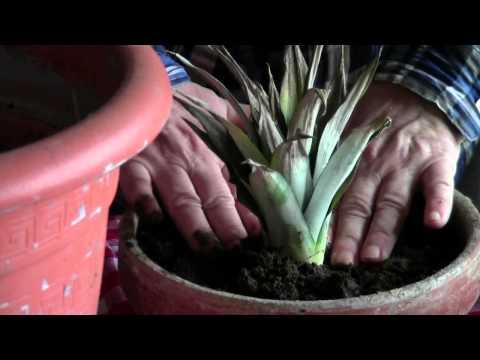 come ottenere facilmente una bellissima pianta di ananas