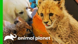 Cheetah Cubs Meet Their New Dog Best Friend! | The Zoo: San Diego by Animal Planet