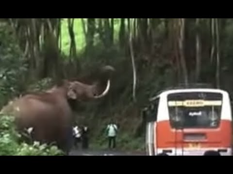 Video Munnar Wild Elephant attack [Padayappa Elephant] download in MP3, 3GP, MP4, WEBM, AVI, FLV January 2017