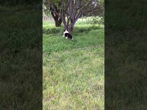 Border Collie Male puppy