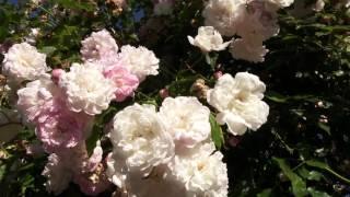 #957 Die Englische Ramblerrose Princess Louise