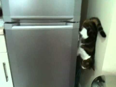 Gato baja caminando por el lado de la nevera
