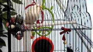 Budgie With Respiratory Noise&Tail Bob #1 200910