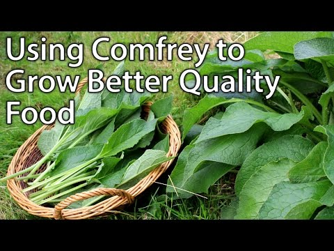 Why You Should be Growing Comfrey