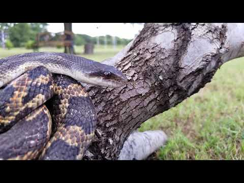 Video Snek getting a boop on the snoot download in MP3, 3GP, MP4, WEBM, AVI, FLV January 2017
