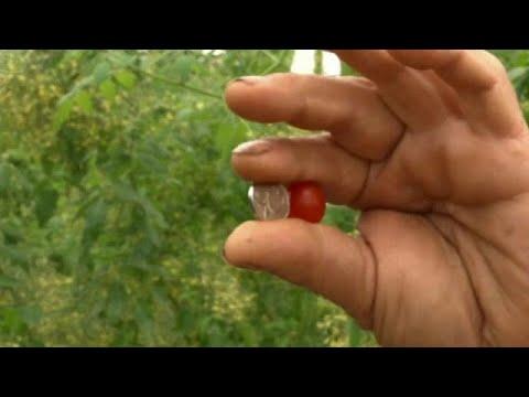العرب اليوم - شاهد: أصغر طماطم في العالم  صناعة إسرائيلية