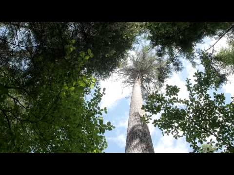 World's tallest sugar pine tree lives in southern Oregon's Umpqua National Forest