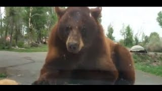 Video Bears attack our car at Yellowstone MP3, 3GP, MP4, WEBM, AVI, FLV Oktober 2017