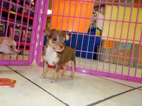 Chihuahua, Puppies For Sale, In, San Antonio, Texas, Tx, Pasadena, Brownsville, Grand Prairie, Lared