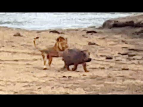 Pequeño pero valiente: una cría de hipopótamo defiende a su madre de un león